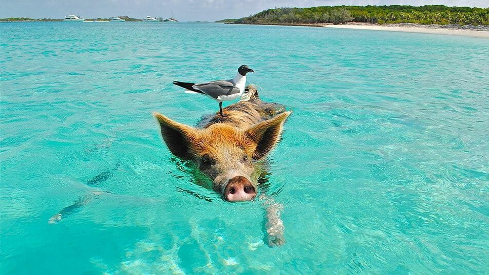 Pig swimming in the ocean with a bird on its back